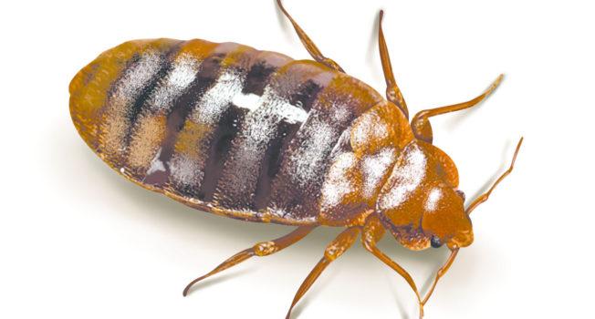 Jak się pozbyć karalucha?